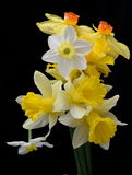 Fleurs gentilles de narcisse Photographie stock