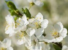 Fleurs gentilles de prune Photographie stock