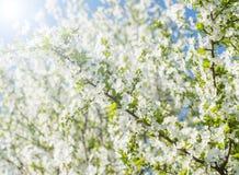 Fleurs gentilles de prune Image libre de droits