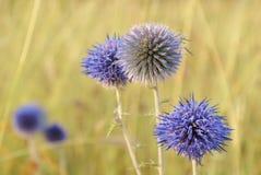 Fleurs globulaires bleues d'echinops sur le fond jaune dans sauvage Images libres de droits