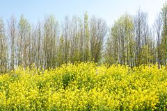 Fleurs, graine de colza, et arbres de colza pendant le printemps photographie stock libre de droits