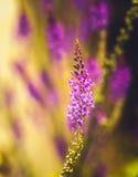 Fleurs grandes étroites violettes sur le pré vert dans le temps de summmer dans la PA Photos libres de droits