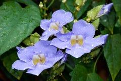 Fleurs grandiflora de Thunbergia Images stock