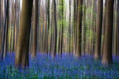 Fleurs Hallerbos de jacinthes des bois Photos libres de droits
