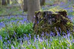 Fleurs Hallerbos de jacinthes des bois Images libres de droits