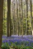 Fleurs Hallerbos de jacinthes des bois Photographie stock
