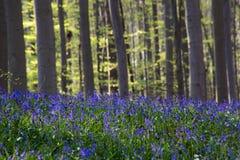 Fleurs Hallerbos de jacinthes des bois Image libre de droits