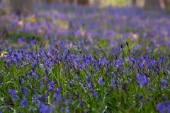 Fleurs Hallerbos de jacinthes des bois Photo stock