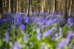 Fleurs Hallerbos de jacinthes des bois Image stock
