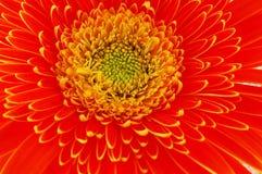 Fleurs - haut proche de gerbera Photo libre de droits