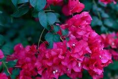 Fleurs hautes de fleurs de bouganvillée et jolies étroites Image libre de droits