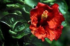 Fleurs hawaïennes Photographie stock libre de droits