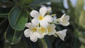 Fleurs hawaïennes de Plumeria employées pour faire aloha des leis banque de vidéos