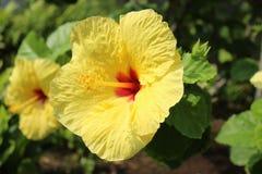 Fleurs hawaïennes, ketmie Photographie stock