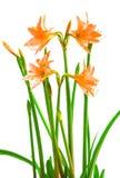 Fleurs Hippeastrum Images stock