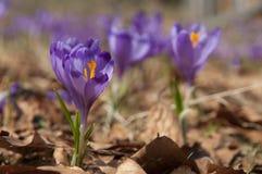 Fleurs hollandaises de safran de source Images stock