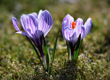 Fleurs hollandaises de safran de source Photos stock