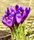 Fleurs hollandaises de safran de source photo libre de droits