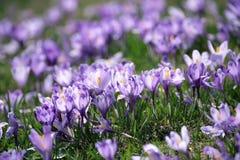 Fleurs hollandaises de safran de source Image stock