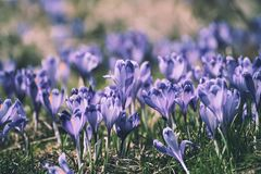 Fleurs hollandaises de safran de source Photographie stock