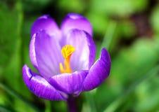 Fleurs hollandaises de safran de source photos libres de droits