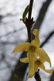 Fleurs humides de forsythia Photos stock