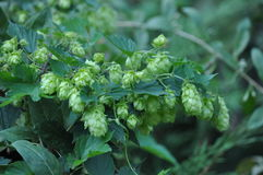 Fleurs, Humulus Photo stock