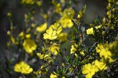 Fleurs indigènes australiennes de monogyna de Hibbertia Image stock