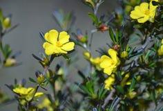 Fleurs indigènes australiennes de monogyna de Hibbertia Images stock