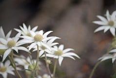 Fleurs indigènes de flanelle de CAustralian, helianthi d'Actinotus photos libres de droits