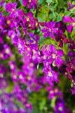 Fleurs intenses s'élevantes de clématite pourpre photos stock