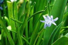 Fleurs isolées de jacinthe photographie stock