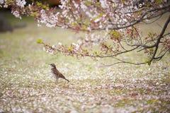Fleurs japonaises d'oiseau et de cerise Image libre de droits
