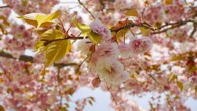 Fleurs japonaises de double couche de cerise de floraison de Kanzan de Prunus voyant et lumineux sur le fond de ciel bleu Sakura  photo stock