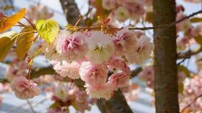 Fleurs japonaises de double couche de cerise de floraison de Kanzan de Prunus voyant et lumineux sur le fond de ciel bleu Sakura  images stock