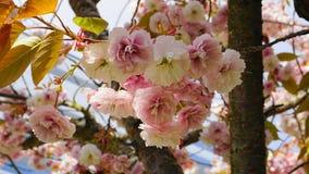 Fleurs japonaises de double couche de cerise de floraison de Kanzan de Prunus voyant et lumineux sur le fond de ciel bleu Sakura  photos stock