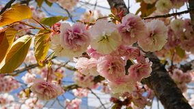Fleurs japonaises de double couche de cerise de floraison de Kanzan de Prunus voyant et lumineux sur le fond de ciel bleu Sakura  image stock