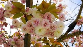 Fleurs japonaises de double couche de cerise de floraison de Kanzan de Prunus voyant et lumineux sur le fond de ciel bleu Sakura  photographie stock