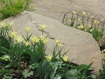 Fleurs jaune-clair de tulipe dans un parterre photographie stock