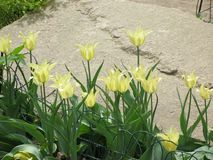 Fleurs jaune-clair de tulipe dans un parterre images libres de droits