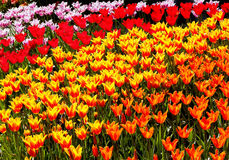 Fleurs jaune-orange rouges Skagit Washington de tulipes Photo stock