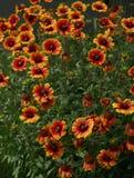 fleurs Jaune-rouges Photographie stock libre de droits