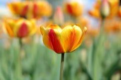 fleurs Jaune-rouges de tulipe. Photographie stock libre de droits
