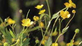 Fleurs jaunes à l'arrière-plan de pré d'été banque de vidéos