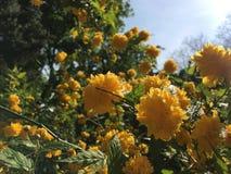 Fleurs jaunes à la lumière du soleil Photo stock