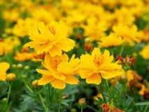 Fleurs jaunes Photographie stock
