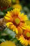 Fleurs jaunes Images libres de droits