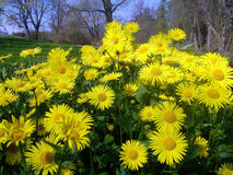 Fleurs jaunes Photo stock
