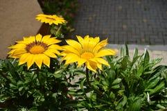 Fleurs jaunes Image libre de droits