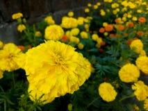 Fleurs jaunes Photos stock